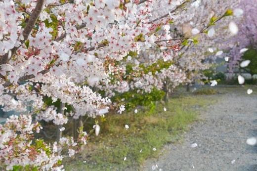 ひらひらと散っていく桜の花びら