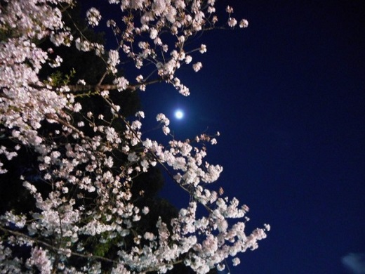 幻想的な夜桜